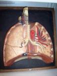 Ecorché poumons et coeur